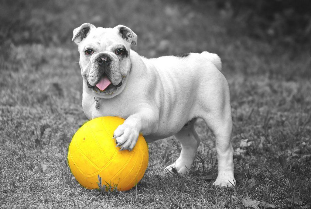 remedios caseros para pulgas en perros