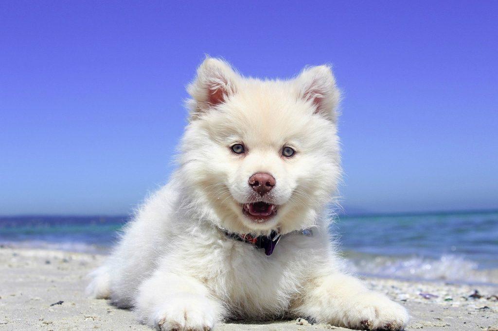 que es bueno para el moquillo en los perros