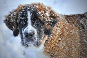 enfermedad del moquillo en perros adultos