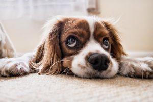 moquillo en perros tratamiento y cura