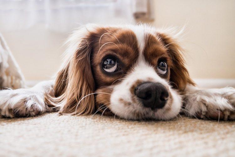Moquillo en Perros tratamiento y cura - 🧡, definitiva en adultos