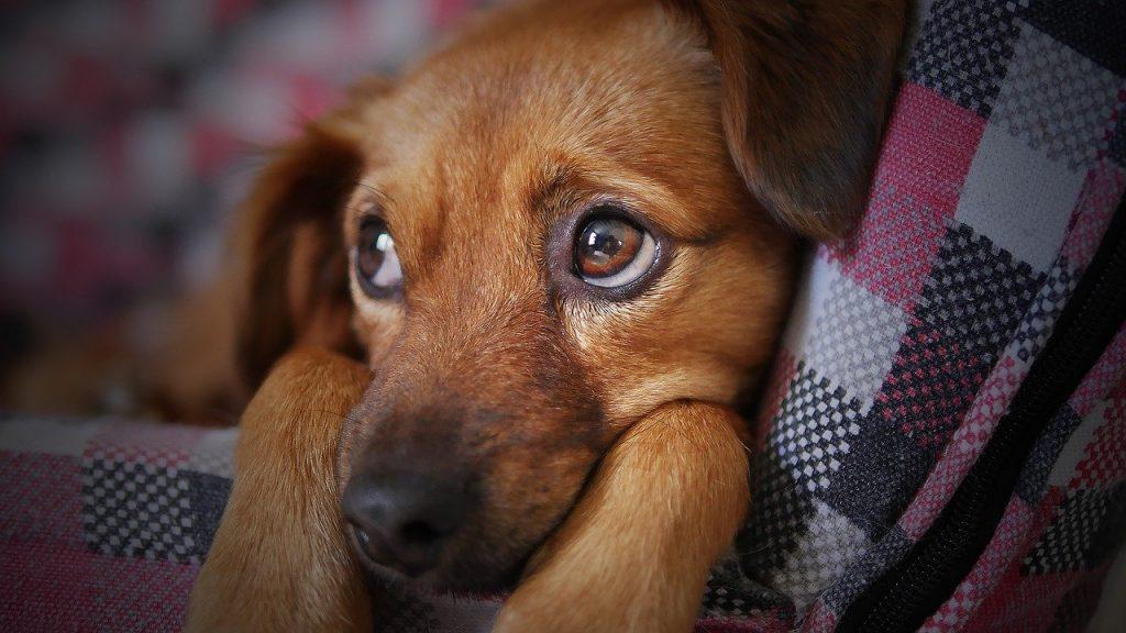 cuanto dura el moquillo en perros