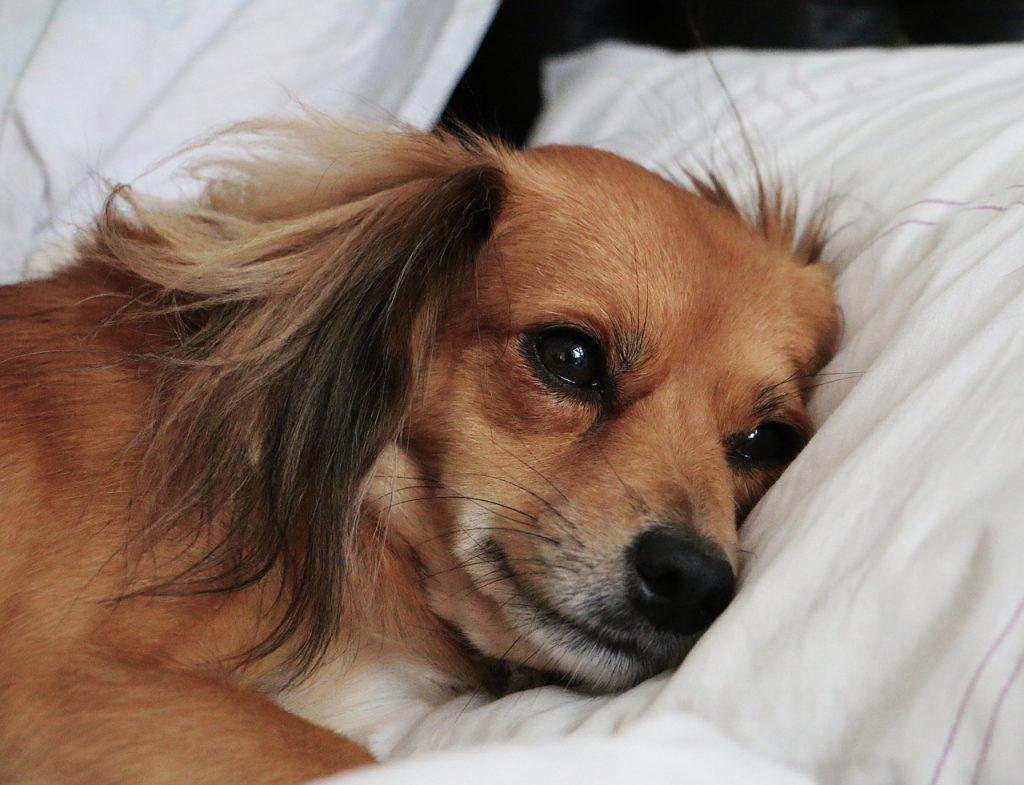Moquillo nervioso en perros