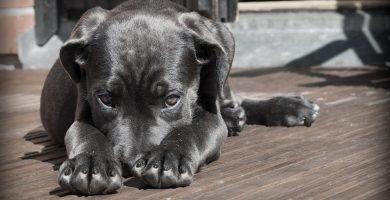 Parvovirosis por Parvovirus en Perros Adultos y Cachorros
