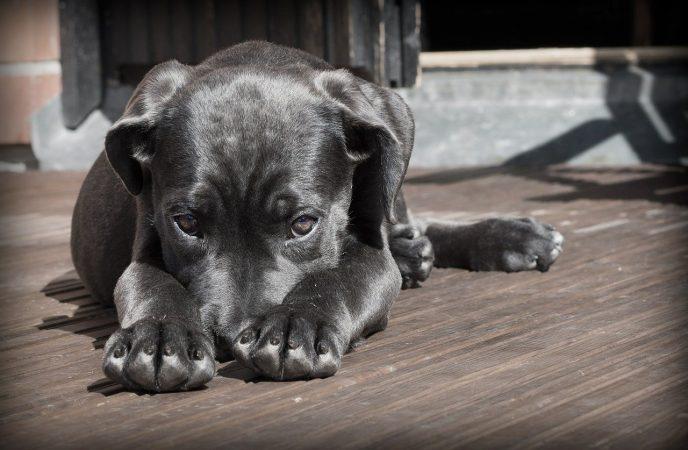 Parvovirus en Perros Adultos y Cachorros - 🧡, Medicamentos