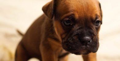 Parvovirosis por Parvovirus en Perros Tratamiento