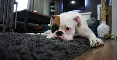sarna en perros síntomas y tratamiento