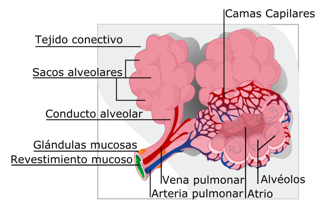 alveolos pulmonares del perro