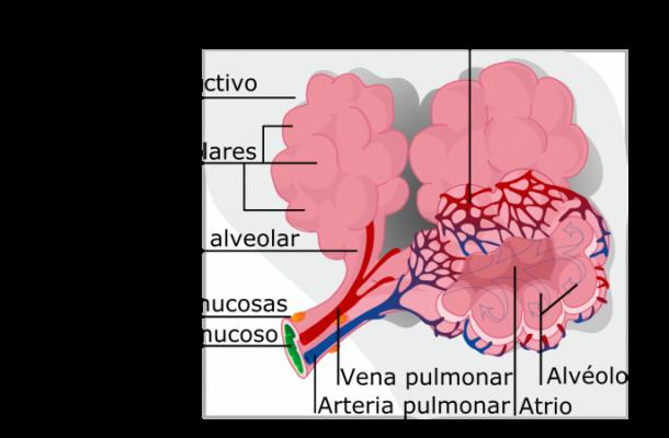El Sistema respiratorio del perro y sus partes en Español - 🧡