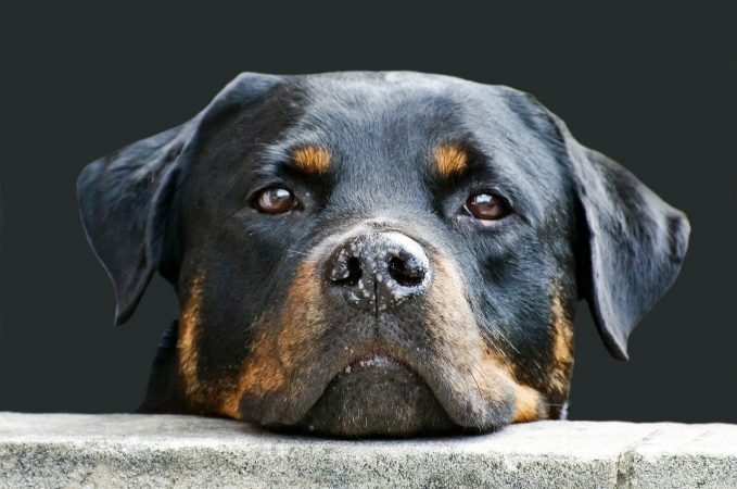 11 Enfermedades más comunes en los perros Rottweiler - 🧡