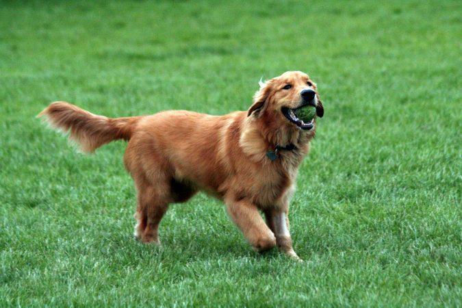 Hemangiosarcoma canino - 🧡,qué es, síntomas y tratamiento