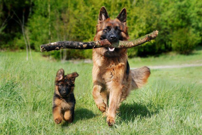 perro adulto corriendo con su cachorro