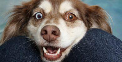 perro con ojos de dos colores